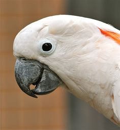 Salmon-crested cockatoo (Cacatua moluccensis) also known as the Moluccan cockatoo. South Moluccas in eastern Indonesia.