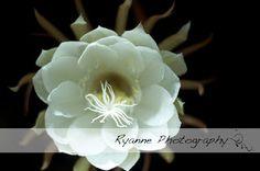 Night Blooming Cereus - Ryanne Photography