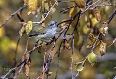 Grey warbler by scsutton. Please Like http://fb.me/go4photos and Follow @go4fotos Thank You. :-)