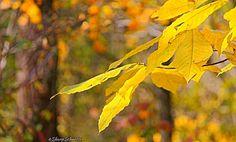 Golden jewel tones of autumn color