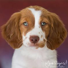 Cali the beautiful Brittany Spaniel (by Mark Rogers Photography)
