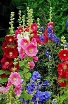 Beautiful Flowers Garden, All Flowers, Exotic Flowers, Amazing Flowers, Pretty Flowers, Beautiful Gardens, Growing Hollyhocks, Hollyhocks Flowers, Flower Arrangements Simple