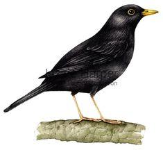 botanical illustrations blackbird - Google Search