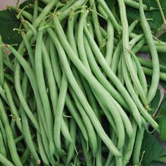 """Nikki.thin, shoestring-type, French filet bean.white seeds.  Excellent yields of 5-6"""" fine fleshed pods.  Will do well if sown indoors in small pots and then transplanted. thrives in warm weather.  50 days"""