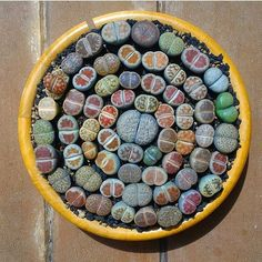 Aren't lithops the best?! #leafandclay #succulents #lithops (: @ev3ziilmz_lithops )