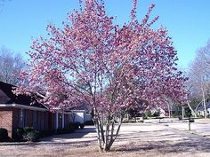 10 Best Small Trees for Your Yard: How to Manage and Identify Saucer Magnolia