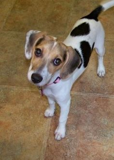 Jack-A-Bee (Jack Russell Terrier X Beagle). My puppy looks ...