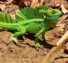 plumed basilisk or green basilisk lizard /Basiliscus plumifrons ...