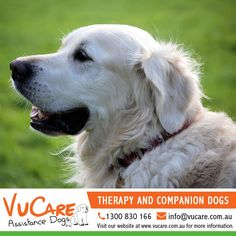 Our specialty trained dogs assist and support their owners with everyday tasks that are made difficult due to their disability. Each dog is taught tasks tailored to each individual clients needs, enabling that person to lead a fuller and more independent life.  For more information call us on 1300 830 166 or email us at info@vucare.com.au. Visit VuCare Assistance Dogs website at http://vucare.com.au. #dogs