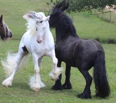 young stallions playing....love how the black has whipped his mane up so high