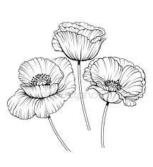 Image result for poppy botanical illustrations