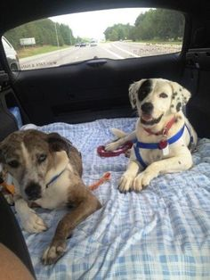 """#NCAROLINA ~ Lucy & Gunner are a #BondedPair of #adoptable #senior Catahoula mixes in #Dover. Dropped off at a shelter by their owner when she lost her job & became homeless. We rescued them & they're in a foster home but would love a """"furever"""" home. Both house/cratetrained UTD shots & undergoing slow-kill HW treat't. #Adopt thru Catahoula Rescue SE Please click on pic for additional info on these dogs"""