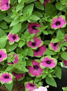 I have some of these in a big pot on my patio, theyre called Pretty Much Picasso Petunias (or Supertunias)  I love them!