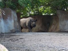 Rhino at the st louis zoo St Louis Zoo, The St, Great Photos, Panther, Places Ive Been, Animals, Animales, Animaux, Panthers