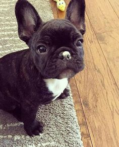 """""""Hi, my name is Brewer, and I got yogurt on my nose"""", adorable French Bulldog Puppy"""