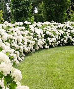 Hydrangea 'Solid Annabelle' Trees And Shrubs From Bakker Spalding Garden Company Backyard Garden Landscape, Garden Shrubs, Shade Garden, Backyard Landscaping, Garden Trees, Landscaping Ideas, Oasis Backyard, Garden Oasis, Large Backyard