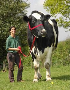 Chilli, the world's largest cow.  This is real