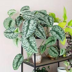 scindapsus pictus trebie Foliage Plants, Potted Plants, Indoor Plants, Exotic Plants, Tropical Plants, Pathos Plant, Peonies And Hydrangeas, Plant Cuttings, Mother Plant