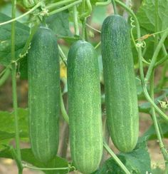 These cucumbers are so refreshing, eaten during the intensely hot seasons!