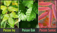 Poison Oak, Poison Ivy, and Poison Sumac plants