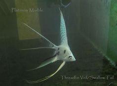 Swallow Tail - The Angelfish Forum II - Focused on Freshwater Angelfish.