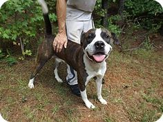 Rome, GA - Pit Bull Terrier/Bulldog Mix. Meet 15D-1302 (7/31), a dog for adoption. http://www.adoptapet.com/pet/13574022-rome-georgia-pit-bull-terrier-mix