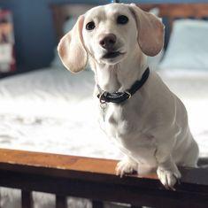 Weenie Dogs, Doggies, Piebald Dachshund, Miniature Dachshunds, Sausage Dogs, Animals And Pets, Hot Dogs, Labrador Retriever, Wonderland