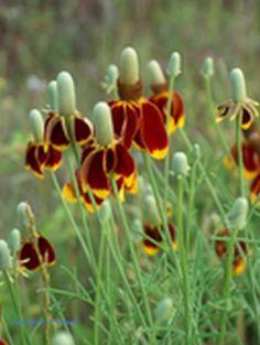 Ratibida Columnifera Pulcherrima : fleur  rouge brique et jaune. Attire les papillons. Résistante à la sécheresse.