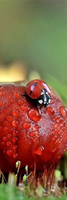 Ladybug (via Pin by Joanne McEwan on Life of a Lady Bug Beautiful Bugs, Beautiful Butterflies, Beautiful World, Lady Bug, Lady Lady, The Beetles, Lucky Ladies, Bugs And Insects, Tier Fotos
