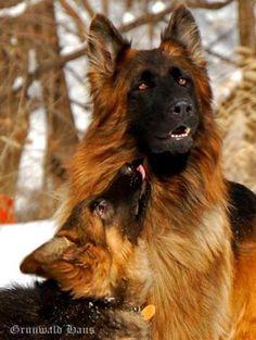 History of Long Coat / Long Hair German Shepherd Dog... | http://www.longcoatgermanshepherddog.com/drupal