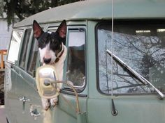 Ivy in my '66 with a bull terrier!
