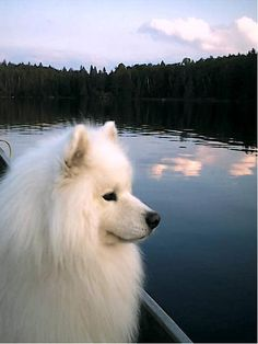 Samoyed Looking at the River and missing someone