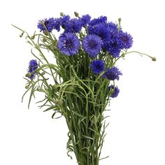 Blue cornflowers! These would be beautiful at my burlap and lace wedding. 5 bunches for $89.99 from FiftyFlowers.