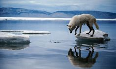 An arctic wolf tries to escape from a fragment of melting ice floe. Greenpeace fear the region is gravely threatened by oil companies. Photograph: Jim Brandenburg/Getty Images/Minden Pictures RM