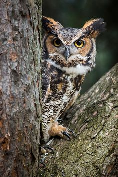 Peering Out - Great Horned Owl by Dale Kincaid