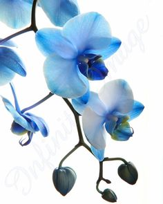 16x20 High Key Blue Mystique Orchid. by Infinite Image Photography, $34.99