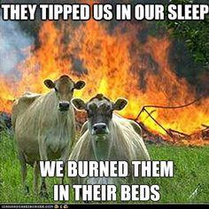 Angry cows.