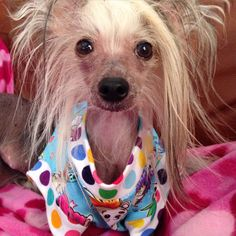 ChaCha LaRue Chinese crested therapy dog.