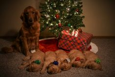 Golden Retriever Puppies Waiting For Santa To Come