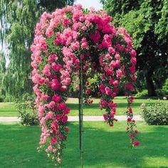 Weeping rose trees are absolutely beautiful!
