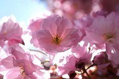 Cherry Blossoms At The Brooklyn Botanic Garden, 42-38654759, Fotochannels