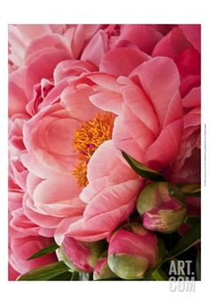 Coral Peonies I Art Print by Rachel Perry at Art.com
