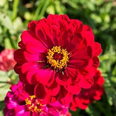 David's Garden Seeds Flower Zinnia Solid Color Cherry Queen 7236 (Red) 500 Non-GMO, Heirloom Seeds Flowers, Planting Bulbs, Seeds, Flower Backgrounds, How To Attract Hummingbirds, Plants, Shade Flowers, Zinnias, Fall Plants