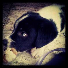 Toby bear