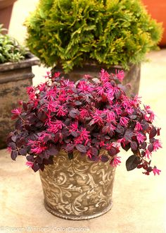 Jazz Hands® Loropetalum are strong growing varieties with outstanding form, flowers and foliage.    Jazz Hands Dwarf Pink Loropetalum has cool purple foliage with a cranberry undercurrent. It combines beautifully with the hot pink blooms. This showy little dwarf plant fits easily into residential landscapes and container gardens, and is a great match with Jazz Hands Dwarf White.