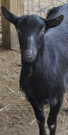 ► Managing a herd of alpine goats. There's more to it than you think! Check it out: http://gmsoap.co/1mqCKcX #goats #GMS #farm