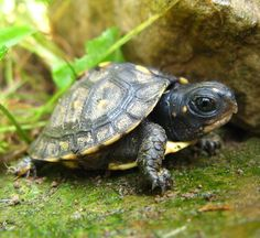 Baby box turtle; photo by GraveyardCat (who is also on Etsy).