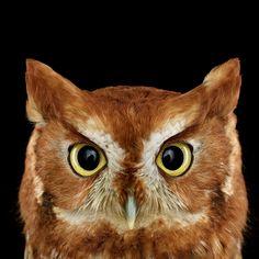 Eastern Screech-Owl. Photo: Brad Wilson
