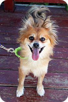 Ann Arbor, MI - Pomeranian Mix. Meet Toby, a dog for adoption. http://www.adoptapet.com/pet/16109099-ann-arbor-michigan-pomeranian-mix