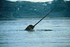 Tessa & I have a weird fascination with Narwals right now...they are the Unicorns of the Ocean & they're real! :)